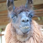 close up of a llama looking into the camera with curiosity