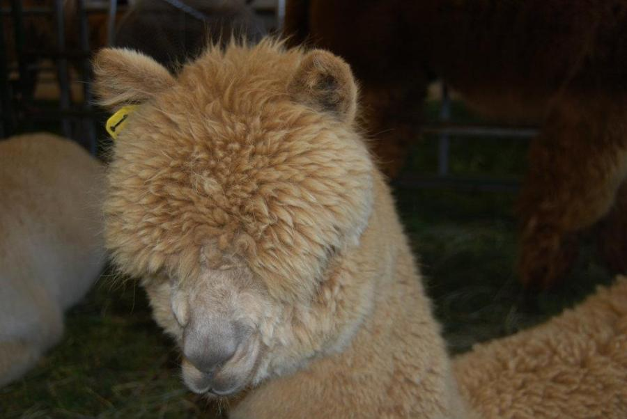 Soft and fluffy head of a buff colored alpaca.